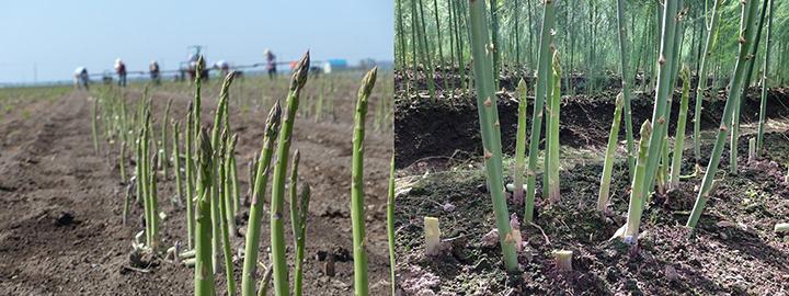 うちやま農園の春(左)と夏(右)アスパラ