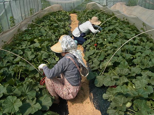 のみやまファーム農作業